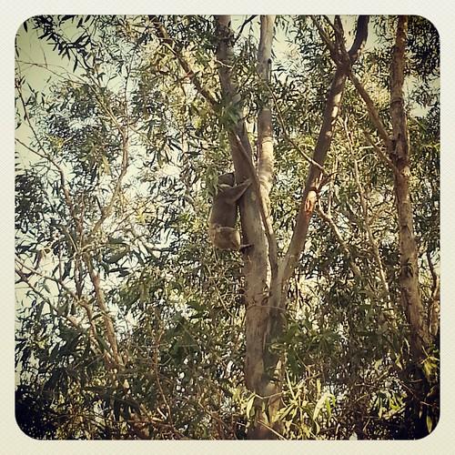A koala in a gum tree by andrewgillsag