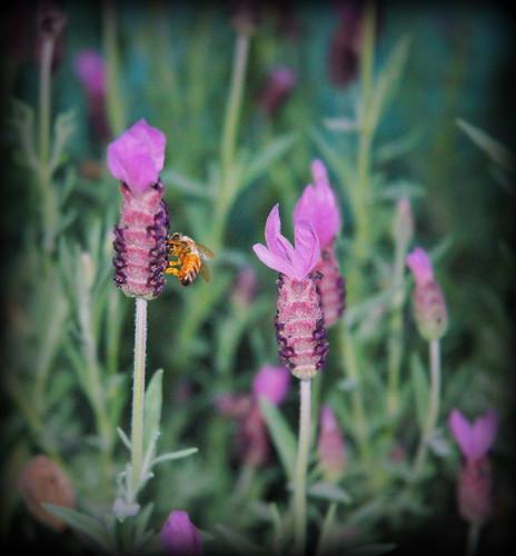 lavender honey...