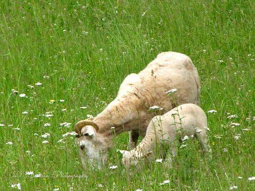 Two Sheeps Grazing