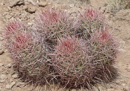 Pink Cactus in the Grand Canyon