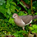 White-tipped Dove (White-tipped Dove (Leptotila verreauxi))