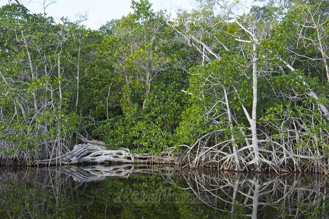 mangrove 0001 Everglades, Florida, USA