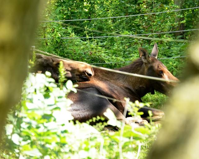 Moose Cuddle Puddle