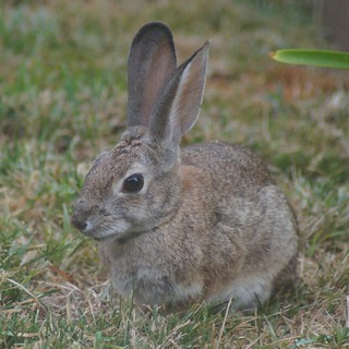 Weekly Photo 20/52 for 2013: Bunny by Kristen Koster on Flickr