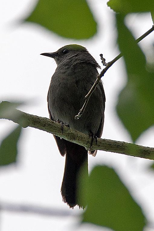 _DSC0517 Gray Catbird