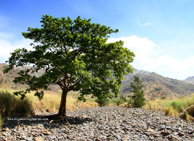 Tree on a dry river bed nagsasa cove san antonio zambales