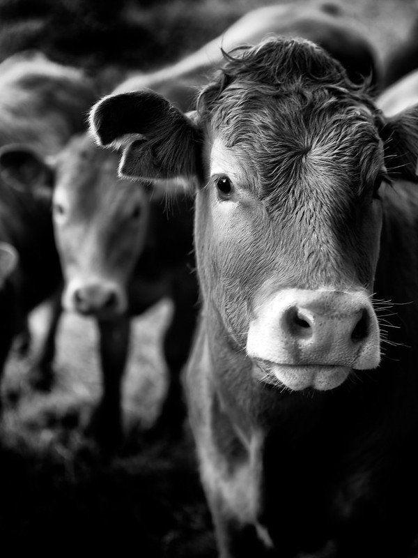Ooh yer Cow!