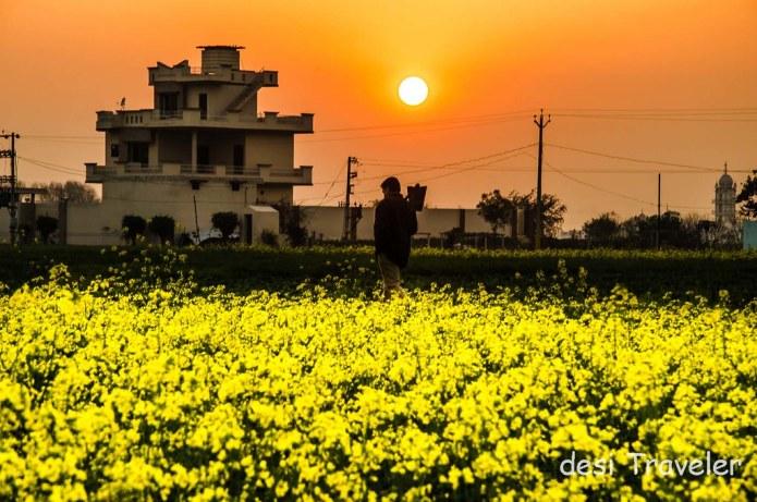 Farmer working at Sunset in Sarson Ke Khet