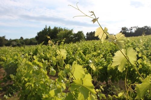 IMG_5852-Apt-vineyard