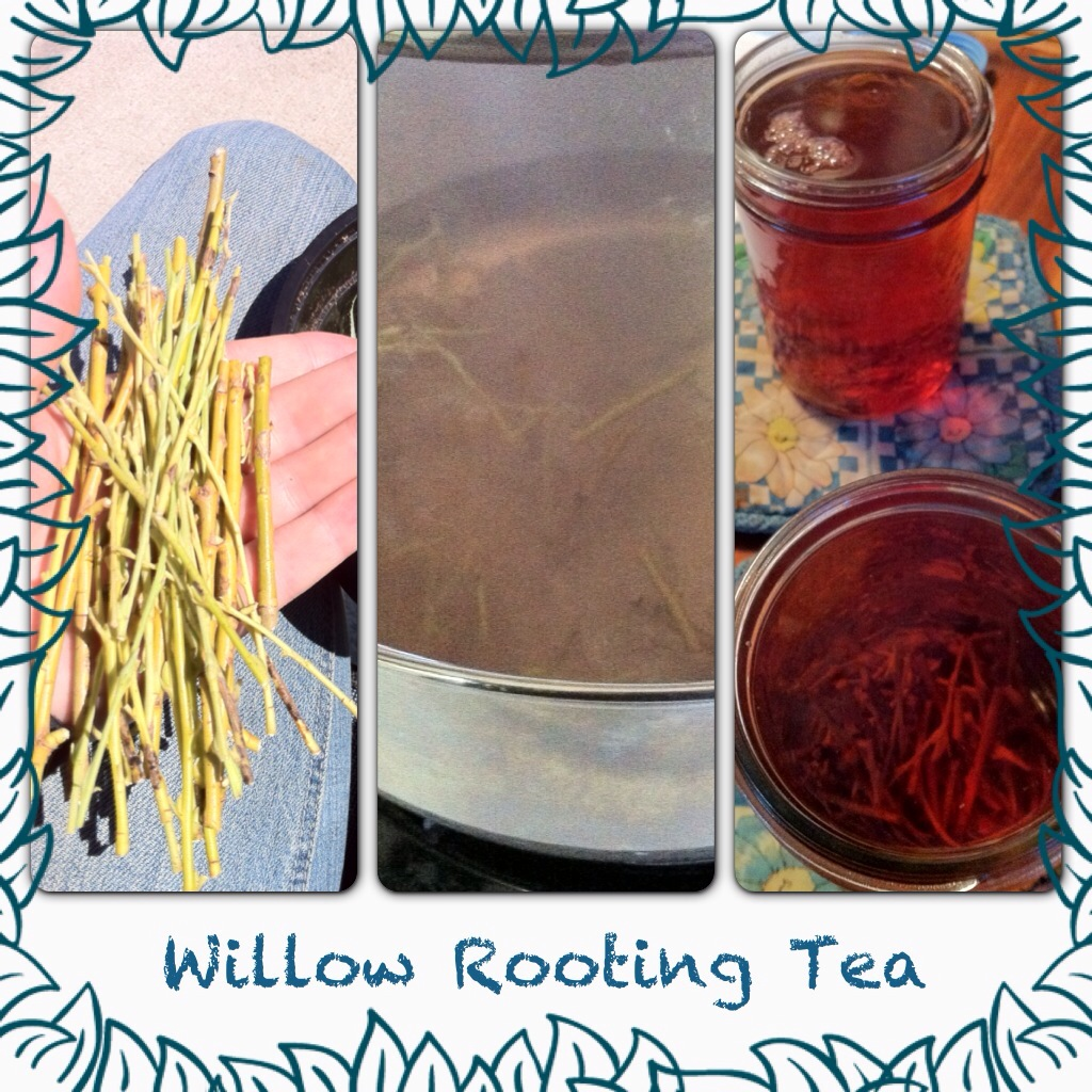Rooting Tea