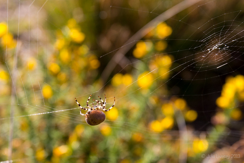Four spot orb weaver spider