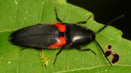 Click Beetle, Limonius sp.? Elateridae