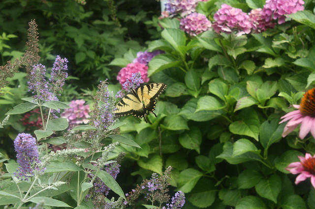 Swallotail in the Catmint