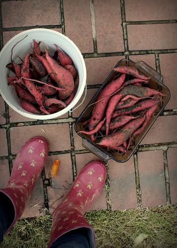 20131102. Sweet potatoes (or did I plant yams?).