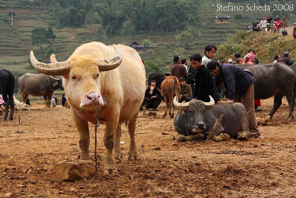 White buffalo - Lào Cai, Vietnam