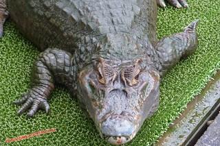 P1060612 Cocodrilos en el Infierno Oni Yama Jigoku (Beppu) 13-07-2010