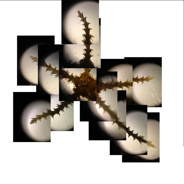 Foldscope: Crude Composite image of starfish