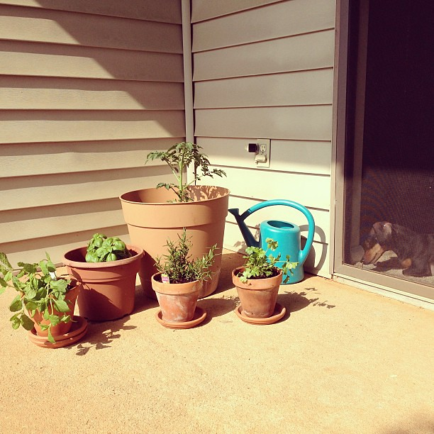 Patio herb garden is set up, finally! (Also pictured: one curious dachshund.)