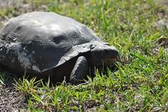 Turtle on parking, Weedon island preserve/Tampa bay