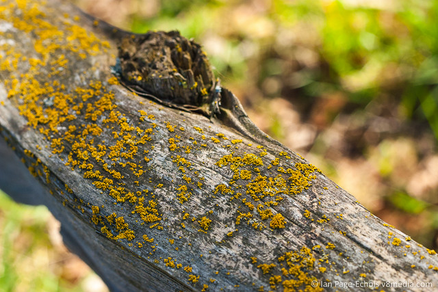 Yellow Lichen on Angled Log