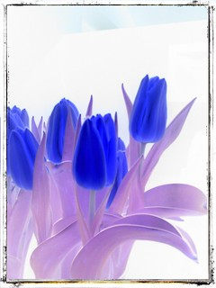 tulipanes 1
