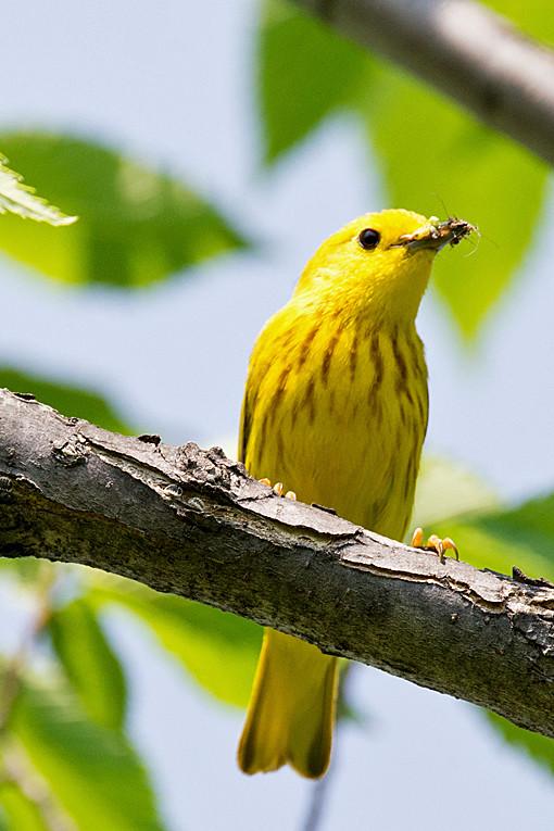 _DSC1067 Yellow Warbler (m)
