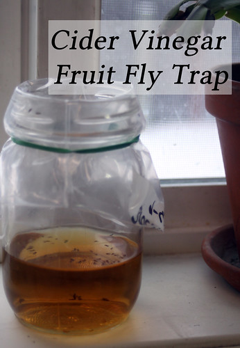 Image result for fruit flies applie cider vinegar