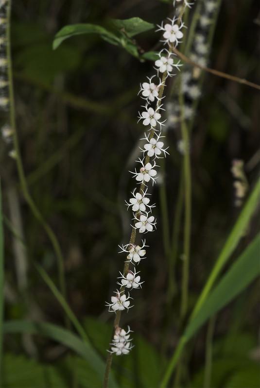 Smallflower Miterwort
