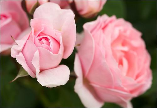 Rosa «Maria Teresa»