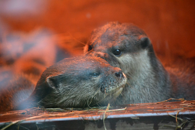 two otters huddle up close in a warmly-lit bed of hay.