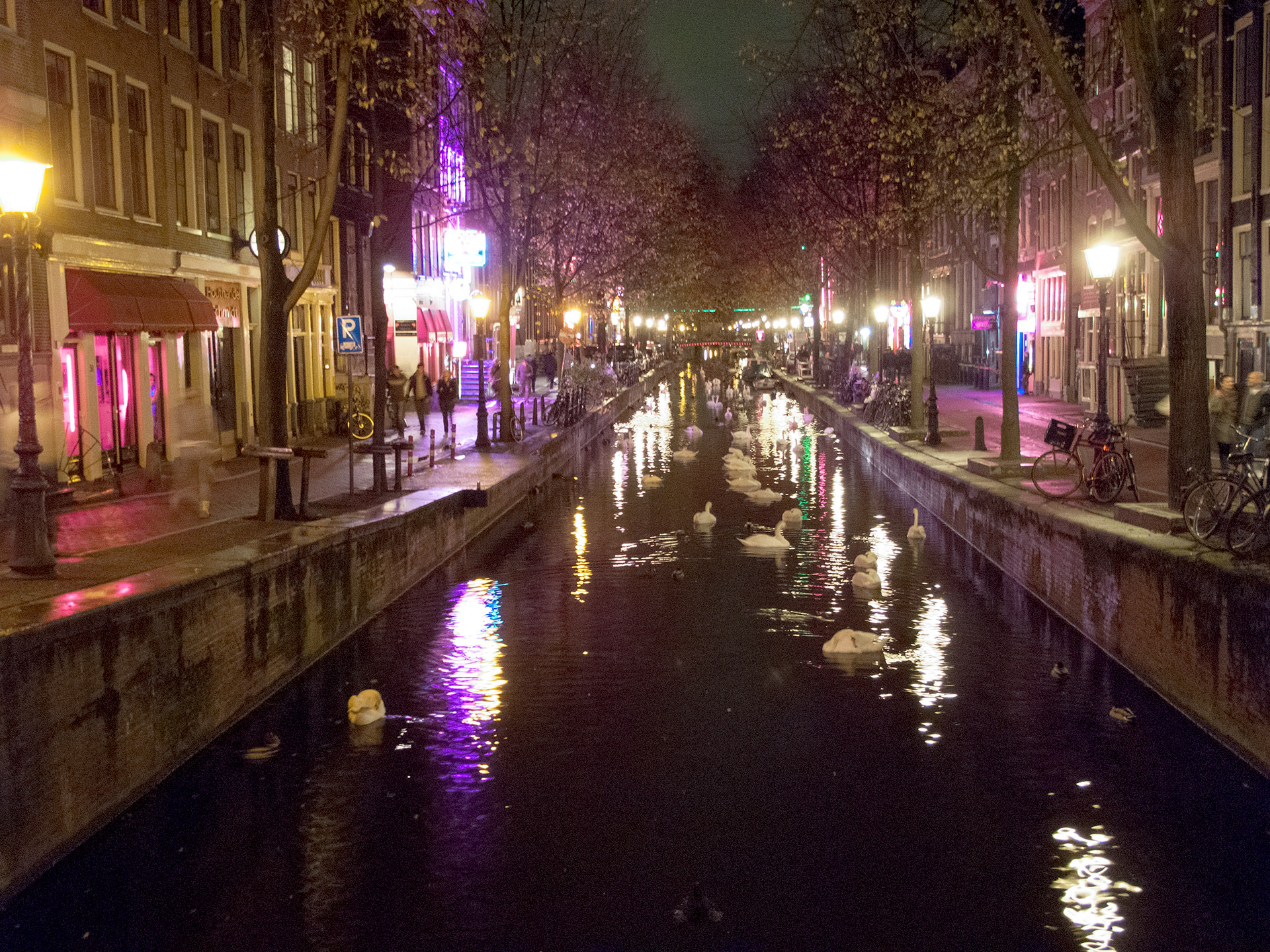 Swans gathered in the glow of The Red Light District, Amsterdam.