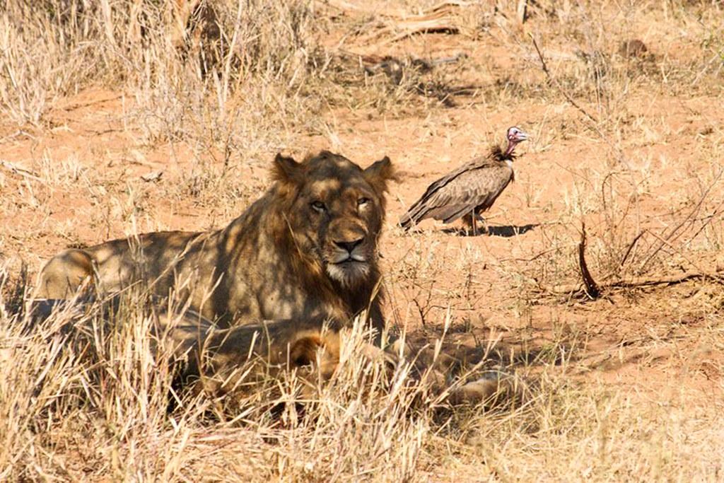 dyr i afrika