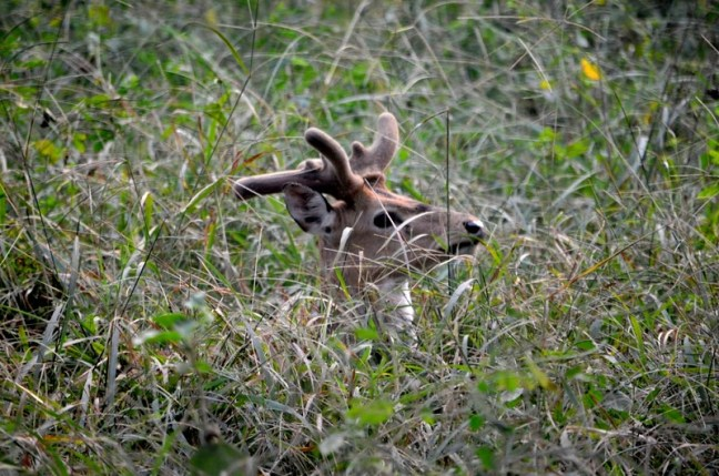 Peeping out of Bushes... Gutsy Sambhar Deer