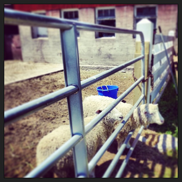 June 9 - bucket {a bright blue feed bucket in with the sheep} #photoaday #sheep #bucket #princeedwardcounty #hagermanfarms