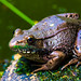 Bullfrogs-and-Flowers-18