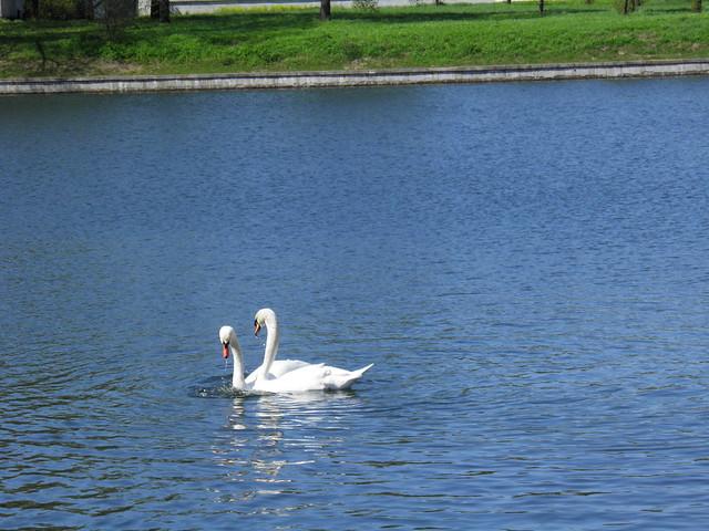 Лебеди // Swans