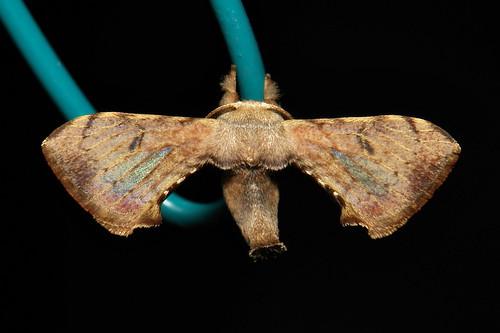 Bombycid Silkmoth (Trilocha varians, Bombycidae)