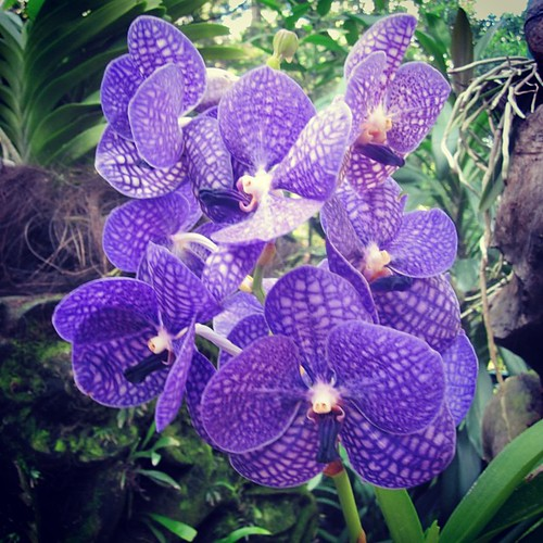 #Orchids at #singapore botanic gardens by @MySoDotCom