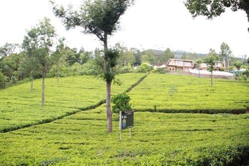 Private tea estate near lambs rocsk