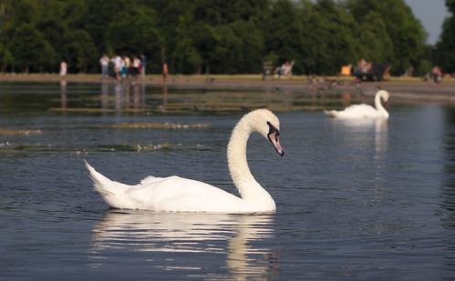 Swan, Round Pond