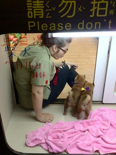 20130827 Pet store Shibas