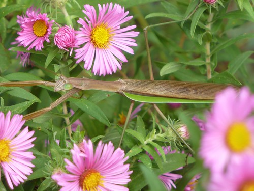 Praying mantis, September by rjknits