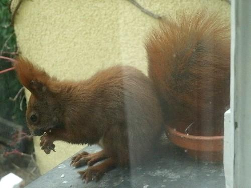 Krankes Hörnchen