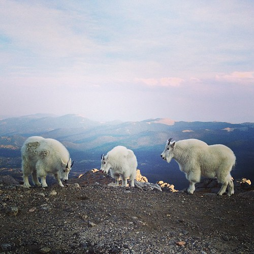 I always get them mixed up Goats or Sheep? by @MySoDotCom