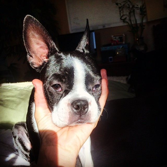 "This is why I call this little goober ""baseball head."" #Alya #puppy #bostonterrier"