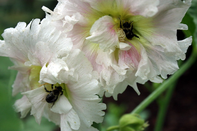 bumblebees in two hollyhock flowers