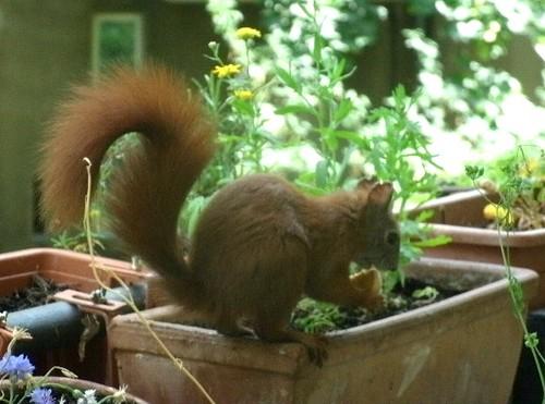 Eichhörnchen mit Keks 2