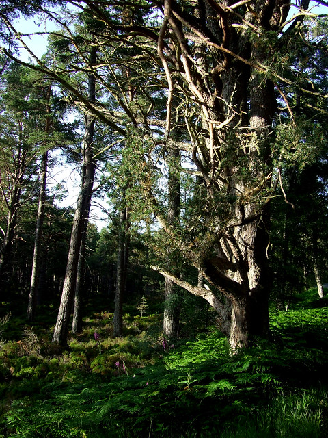 summer evening in the Abernethy forest