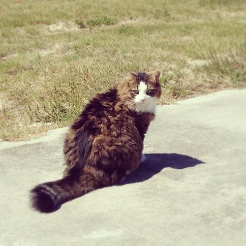 Miso has left the building!! #catsofinstagram #rvkitty #fluffballs #furbaby