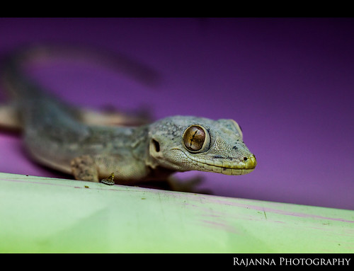 House Lizard by Rajanna @ Rajanna Photography
